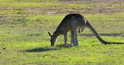 Eastern Grey Kangaroo grazing, hops away