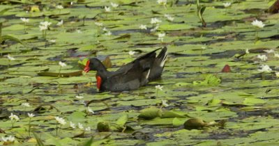 Dusky Moorhen couple feeding in a pond