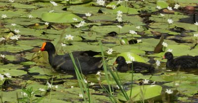 Dusky Moorhen feeding chicks in a pond