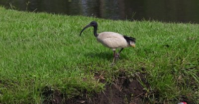 Australian White Ibis feeding on a grasslandnear a pond, crosses another individual