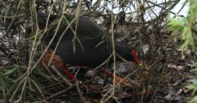 Dusky Moorhen building nest, bringing twigs and straws