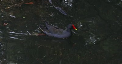 Dusky Moorhen goes in search of twigs for building nest