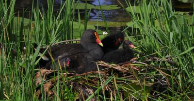 Dusky Moorhen on nest with chicks, another adult comes and puts a straw nearby