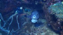 Pufferfish, Ballon Fish, Blowfish