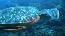 Green Turtle, Sea Turtle Swimming Along Drop Off