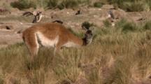 Guanaco Feeding In High Grass, Penguins Behind