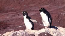 2 Rockhopper Penguins Rest In The Sun