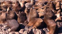 Young Sea Lion Bull Colony