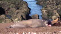 Elephant Seal, Big Yawn
