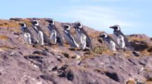 Magellanic Penguin Walking Up The Hill