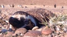 Magellanic Penguins Sleeping In The Nest, Very Close