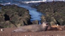 Elephant Seal On The Beach, Big Yawn
