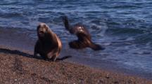 Sea Lion Mother Throws Pup Through The Air