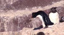 Rockhopper Penguin Hopping And Sliding