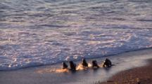 Sea Lion Pubs Playing In The Surf At Sunrise