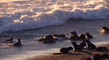 Sea Lion Pups Playing With Algae In The Surf At Sunrise