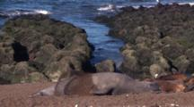 Elephant Seal Shoveling Sand Over His Body