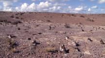 Magellanic Penguin Colony, Nesting, Time Lapse