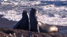 2 Young Elephant Seals Competing On The Beach