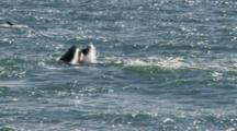 Orca Holds Sea Lion Pup In Mouth And Frees It, Plays Again