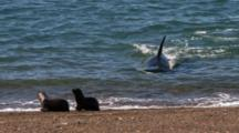 Orca Attack On Sea Lion Pups On The Beach, Orca Miscalculates