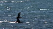 Track Flying Petrel Over Orca