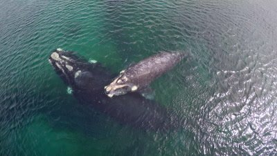 Southern right whale calf resting on mother
