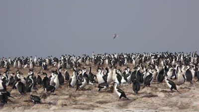 Imperial cormorant colony,medium shot