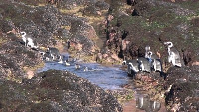 Magellanic penguins cross tide pool,medium,