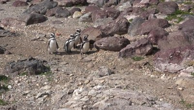 Magellanic penguins walking in line,medium shot
