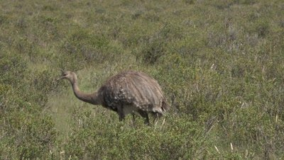 Lesser rhea with chicks walking right to left