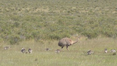 Lesser rhea with many chicks crossing frame,medium shot