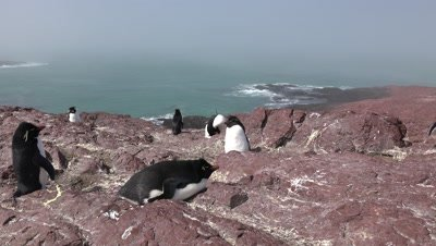 Rockhopper Penguin colony on cliff above ocean