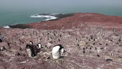Rockhopper Penguin colony,wide shot