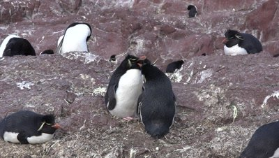 Rockhopper Penguins,couple cleaning each other,medium shot