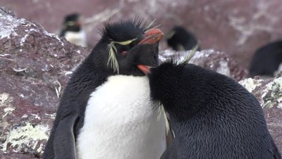 Rockhopper Penguins,couple cleaning each other