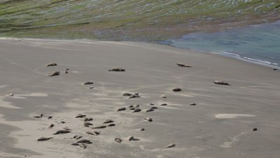 Elephant seal colony,wide shot