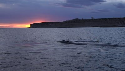 Southern right whale cow and calf,floating in the sunset