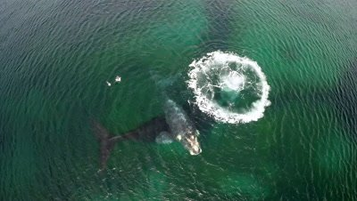 Low Aerial Above Southern right whale cow with calf,making air bubble
