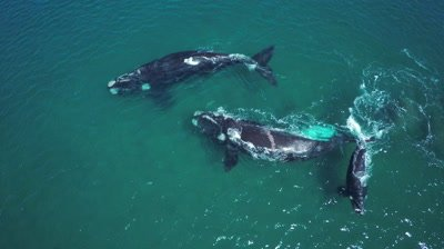 Group of southern right whales with white baby,traveling