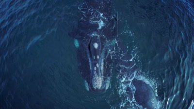 Southern right whale cow with calf, swimming towards camera