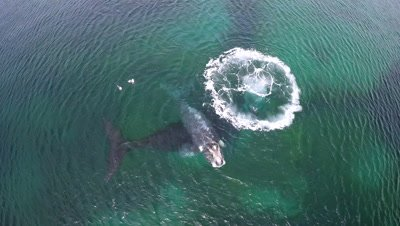 Southern right whale calf resting on mother,mother making big air bubble