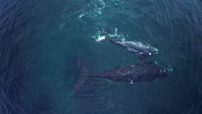 Southern right whale baby resting on mother,floating on the back