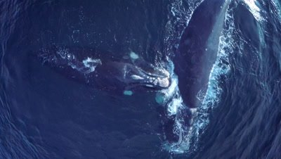 Southern right whale cow with calf,swimming and cuddling,close