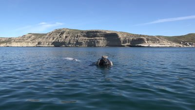 Southern right whale cow and white calf,floating in the bay