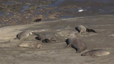 Southern elephant seal colony,mother crying