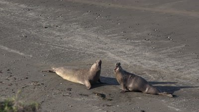 Elephant seal bulls chase and confrontation