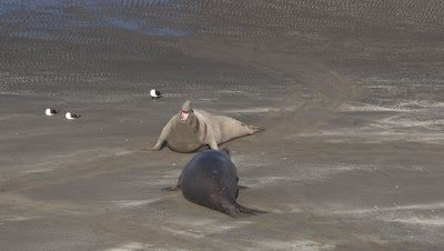 Bull elephant seals fight on beach