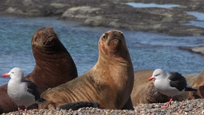Sea Lion Royalty Free Stock Footage