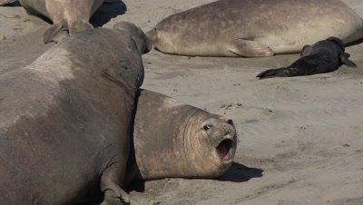 Elephant seal bull dominates female,close to wide